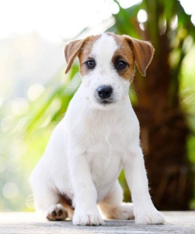 Jack Russell Terrier puppies/cuccioli!