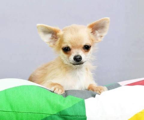Chihuahua Cuccioli in Vendita