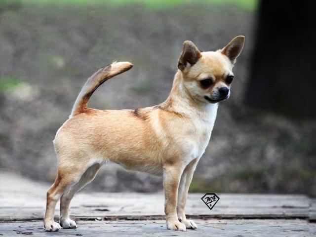 The correct Chihuahua construction!