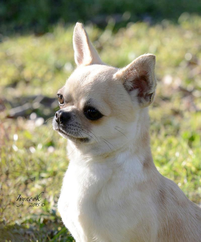 Chihuahua's head