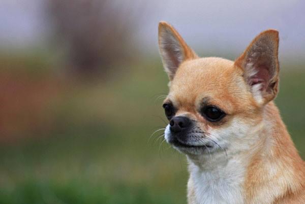 """1º seminario """"Parliamo del Chihuahua"""""""