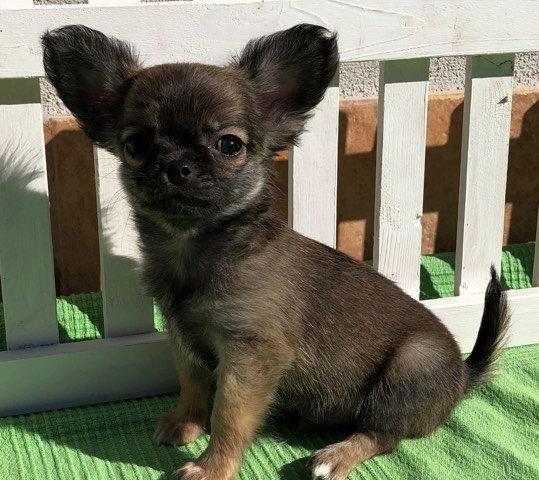 Disponibili cuccioli da compagnia